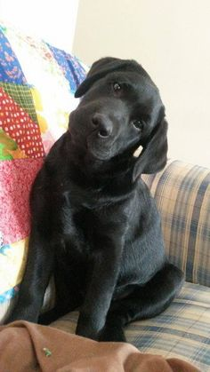 Black Labrador puppy.........Wait I need a minute to think about it!!!