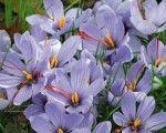 Crocus Sativus/Saffron (Fall Blooming) 5/pk