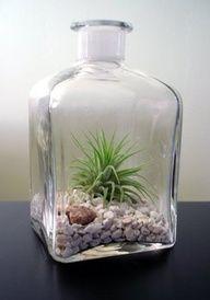 Repurposed glass container as terrarium. Air Plant Terrarium, Garden Terrarium, Glass Terrarium, Garden Plants, Twig Terrariums, Dish Garden, Bottle Garden, Glass Containers, Glass Bottles