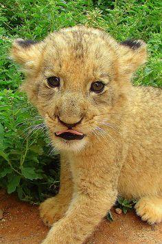 Cute Cub by Ramona Johnston  #FAA