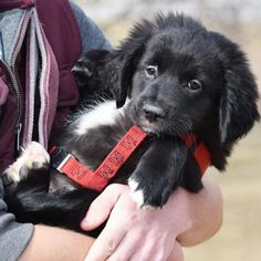 Jordan is a male Flat-coated Retriever/ Border Collie mix available at Animal House Shelter, Huntley,IL. Collie Puppies For Sale, Border Collie Puppies, Collie Mix, Animal Shelter, Animal Rescue, Border Collie Training, Puppy Mix, Flat Coated Retriever, Puppy Names