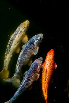 """Direction"" (Goldfish/Koi) 