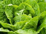 Perfect for pots, 'Bubbles' variety lettuce has a compact form and distinctive crumpled leaves with a very sweet flavor.