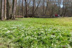 Peklo in Czech Republic in spring . Snow Flacks in abundance. Spring Snow, Czech Republic, Abundance, Memories, Plants, Memoirs, Souvenirs, Plant, Remember This