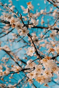 I love spring because of all the beautiful blooms, especially the cherry blossoms! How perfect the look against a cerulean sky! Flowers Nature, Spring Flowers, Beautiful Flowers, Frühling Wallpaper, Flower Wallpaper, Spring Blossom, Beltane, Belle Photo, Pretty Pictures