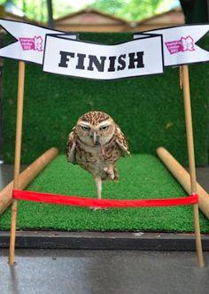 ゴールに向かって一目散に走るのは身長15センチのフクロウのボブ。自己最高記録を破るべく、独特の走法で日々、100センチの短距離走に挑んでいる。
