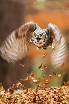 Great horned owls will eat anything they can catch and that's pretty much everything that's smaller or equal size to them. They have been known to catch house cats and small dogs.