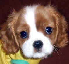 I miss my sweet puppy. He looked just liked this! Cavalier King Charles Spaniels are the sweetest dogs on the planet. http://bit.ly/HKUuFy