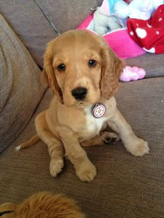 Mark my words, I will have a cocker spaniel like this cutie someday somehow, cutest thing iv ever seen <3