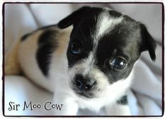 SirMooCow~~~ Weight: Under 2 lbs (as of 1/9/14) ~~~ Birth date: 12/11/13 ~~~ Energy level: Puppy ~~~ ***This litter is currently in foster care*** ~~~ ALWAYS check our WEBSITE DIRECTLY to see if this puppy is still available.