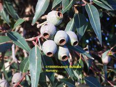 eucalyptus - Google-søk