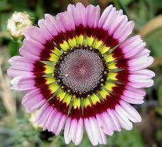 BULK 250 Seeds, Painted Daisy Mix, Tricolor, Flower Seeds. $1.99, via Etsy.