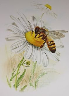 Honeybee on Daisy, Bee on Flower- 1976 Vintage Animal and Insect illustration…