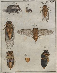 INSECTS: Vintage illustration Artist: Unknown