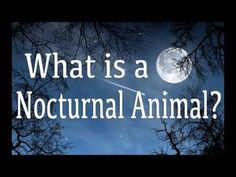 This video about nocturnal animals lists different animals that come out at night. Please enjoy our nocturnal animals pictures and facts! (This resource make. Animal Science, Animal Activities, Science Activities, Nocturnal Animals, Zoo Animals, Animals For Kids, Preschool Programs, Preschool Themes, Birds Of Prey