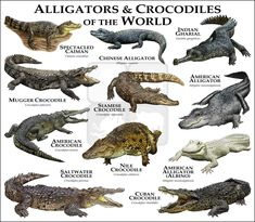 Alligators and Crocodiles of the World Coffee Mug by Wildlife Art by Roger Hall - 11 oz Crocodile Marin, Nile Crocodile, Saltwater Crocodile, Crocodile Facts, Crocodile Dundee, Reptiles Et Amphibiens, Mammals, Alligators, Animals Of The World