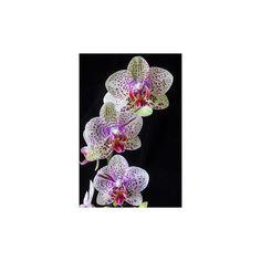 Paphiopedilum sanderianum x gigantifolium orchid slipper T6P77 | eBay ❤ liked on Polyvore featuring shoes and slippers