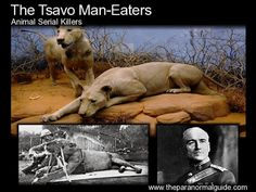 """Tsavo Man-Eaters, """"The Ghost and The Darkness"""".  These two maneless male lions, who were brothers, murdered between 31 and 100 railroad workers in Kenya in 1898."""