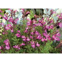 Plant-paintbox Range 140mm Salvia Heatwave Sparkle - Bunnings Warehouse 8.98 Garden Hardware, Plant Species, Plants, Landscape Plan, Landscape Design, Different Plants, Salvia, Garden Landscaping, Garden