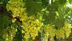 Выращивание винограда. Посадка и уход за виноградом