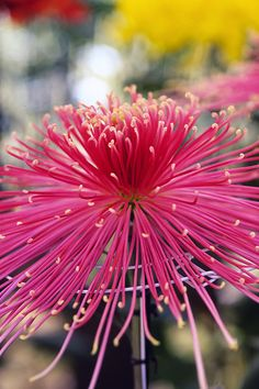 Spider - Chrysanthemum Flowers, Heidenreich's Flowers