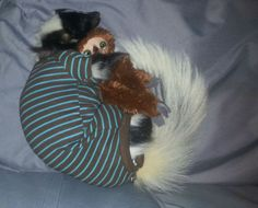 The skunk who slept in a post-surgery onesie