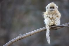 Snub-Nosed Monkeys - National Geographic Magazine.  I like to believe this is a baby monkey.