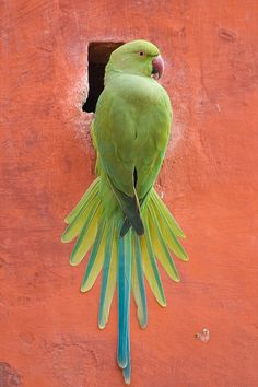 Animals And Pets, Baby Animals, Cute Animals, Love Birds, Beautiful Birds, Ring Necked Parakeet, African Grey Parrot, Budgies, Parrots