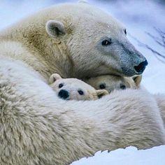 Gotta love it! #BreakingBear #polarbear