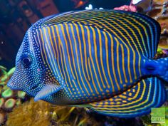 Online Aqurium Shopping: Secrets, Advice And Tips You Need Underwater Creatures, Underwater Life, Ocean Creatures, Beautiful Sea Creatures, Animals Beautiful, Colorful Fish, Tropical Fish, Tang Fish, Saltwater Fish Tanks