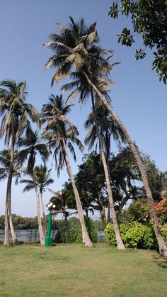 Towering coconut trees in the lawns of @Beach_Luxury ‪#‎Hotel‬