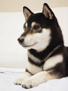 Why are there so few Black Shibas? Did you know that it is a recessive gene?Why are there so few Black Shibas? Did you know that it is a recessive gene? Puppies And Kitties, Cute Puppies, Cute Dogs, Shibu Inu, Japanese Dogs, Super Cute Animals, Tier Fotos, Beautiful Dogs, Mans Best Friend