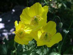 amapolas amarillas
