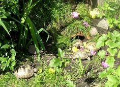 How to Properly Take Care of a Big Tortoise Tortoise Habitat, Baby Tortoise, Tortoise Care, Giant Tortoise, Outdoor Tortoise Enclosure, Russian Tortoise, Young Animal, Tortoises, Little Pets