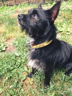 Jackson *Good w/ kids,cats, &dogs. is an adoptable Scottish Terrier Scottie searching for a forever family near Goldens Bridge, NY. Use Petfinder to find adoptable pets in your area.