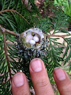 .Hummingbird nest and gardeners hands.