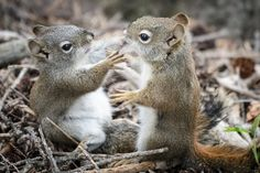 These red squirrels were photographed in Banff National Park. I was sitting with my back to a large evergreen tree shooting a group of elk when these two shot down the trunk in a chattering ball of fluff.