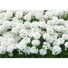 Tiny White Flowers ❤ liked on Polyvore featuring backgrounds, flowers, aesthetic, fotos and green
