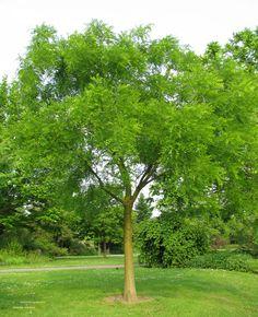 Sophora japonica – honingboom ook Styphnolobium genaamd