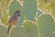 Cactus wren, the state bird of Arizona