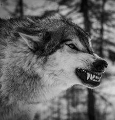 Grrrrr...wolf