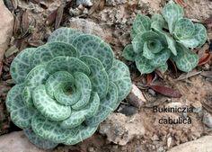 Aeoniopsis Cabulica. | Bukiniczia cabulica Aeoniopsis cabulica Plumbaginacaea