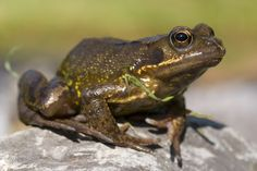 Common frog June 1 by AngiWallace on DeviantArt