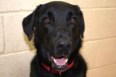 Sally is an adoptable Labrador Retriever Dog in Grass Valley, CA. Sally is a Lab/Border Collie. She is about 2 years old. Sally is a high energy girl. She may just make a good agility dog for someone....