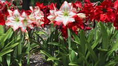 How to Care for Amaryllis