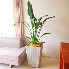 観葉植物「ストレリチア・レギネ」8号(鉢カバー付き)