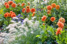 Garden Ideas, Border ideas, Perennial Planting, Perennial combination, Summer Border, Fall Border, Pennisetum Villosum, Feathertop Grass, Dahlia Mrs Eileen, Dahlia David Howard, Ageratum, Floss Flower, Sweet alyssum, Lobularia Maritima
