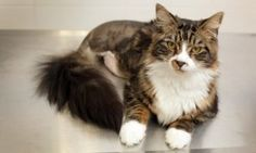 The 10-month-old tabby, named after the Formula 1 driver Jenson Button, has become a familiar face at Derby PDSA PetAid hospital for all the wrong reasons. Firstly he needed emergency surgery to remove chicken bones from his stomach after gobbling up an entire chicken carcass - the sharp bones could have caused severe damage to his intestines; and just months later, he's had to undergo emergency surgery once more after sustaining life-threatening injuries in a road traffic accident.