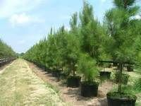 Pine Trees Have Many Benefits Evergreen Trees For Privacy, Pine Tree, Hedges, Benefit, Country Roads, Landscape, Living Fence, Shrubs, Landscaping