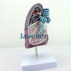 57.00$  Buy here - http://alitt2.worldwells.pw/go.php?t=32791091007 - Mini Human Anatomical Lung Pathology Anatomy Medical Model Simulation 57.00$
